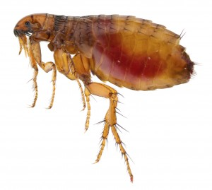 Flea Control-Pest Control Essex