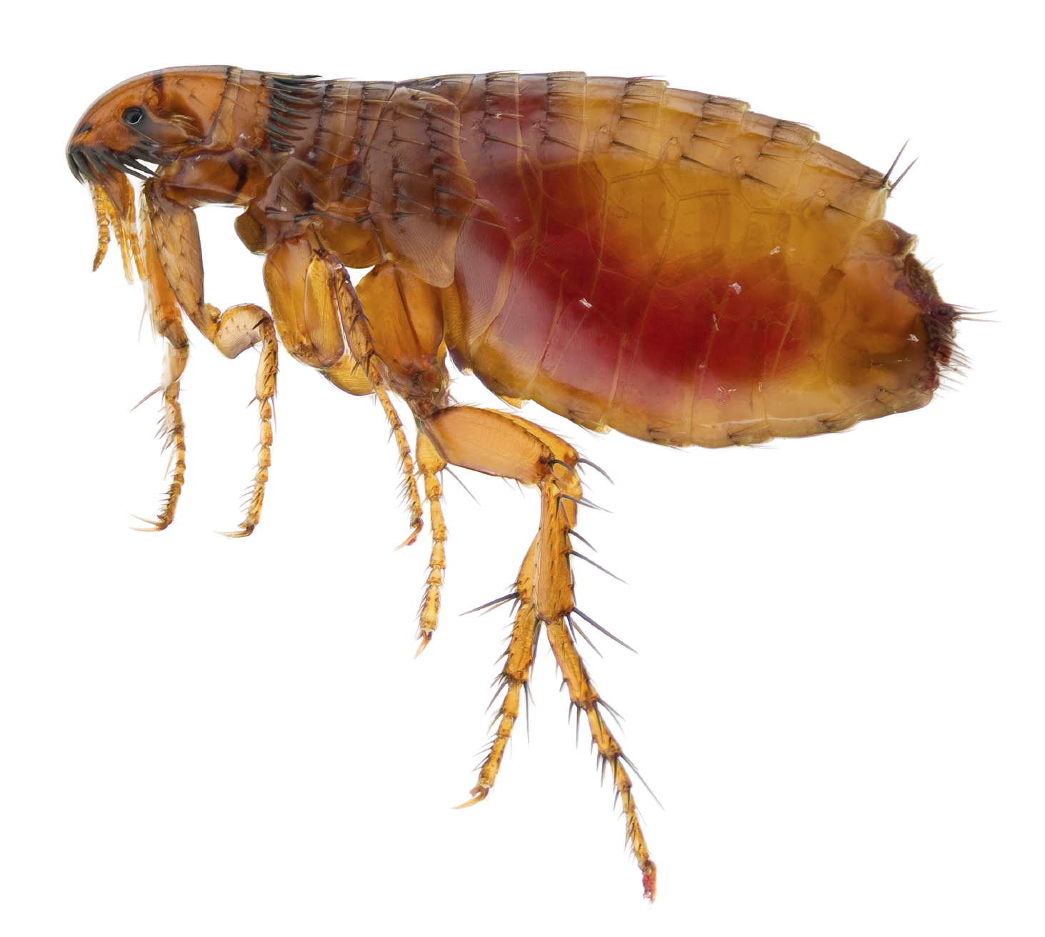 What Do Flea Bites Look Like? Treatment for Humans Pets - Orkin Fleas on humans pictures