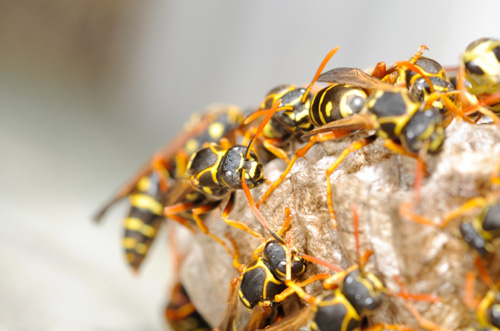 Wasp Nest Removal Epping