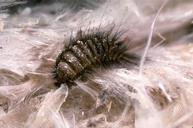 Carpet Beetle-Pest Control Essex