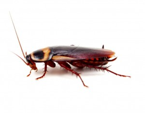 Cockroach-Pest Control Essex