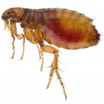 Flea Fumigation Aythorpe Roding