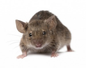 Mice Control Stow Maries