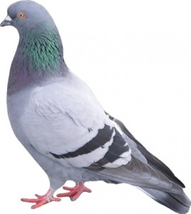 Pigeon Control Great Horkesley