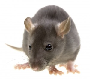 Rat Control-Pest Control Essex
