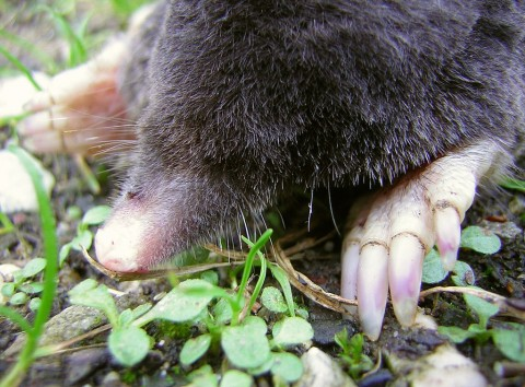 Garden Mole Removal Grays-Pest Control Essex